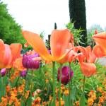 Spring tulips in St Regents Park, London  — Stock Photo #45403813