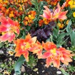 Spring tulips in St Regents Park, London  — Stock Photo #45403827