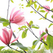 Beautiful magnolia blossom in spring time — Stock Photo #45403991