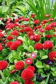 Beautiful red daisies — Stock Photo