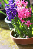 Beautiful hiacynth flowers — Foto de Stock