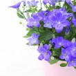 Violet campanula flowers close up — Stock Photo #49485091