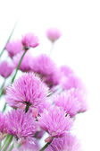 Chives flowers close up — Stock Photo