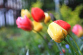 Tulips in the spring garden — Stock Photo