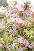 Weigela 'Florida Variegata' blossom — Stock Photo