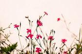 Mossy saxifrage fireworks, rockery plants — Stock Photo