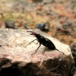 Stock Photo: Stag-beetle
