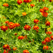 Stock Photo: Tagetes