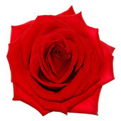 Red rose on the white background (isolated) — Stock Photo