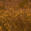 Golden Meadow — Stock Photo