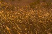 Golden Meadow — Stock Photo