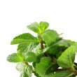 Fresh green mint on white background — Stock Photo
