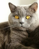 "Gray cat with orange eyes - ""British Blue"" — Stockfoto"