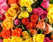 Different color roses (yellow, red, pink) may be used as the background — Stock Photo