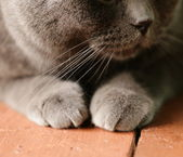 Pet - British shorthair cat with orange eyes — Stock Photo
