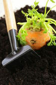 Organic carrots growing out of the ground - fresh, natural food — Stock Photo