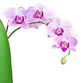 Pink orchid isolated on the white background — Stock Photo