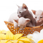 Don sphynx kittens in the basket — Stock Photo