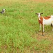 Goats on the pasture — Stock Photo