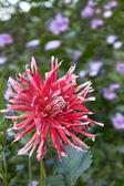 Dahlia flower in flowerbed — Stock Photo
