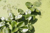Spatterdock plants (Nuphar lutea) in water among duckweed — Stock Photo