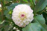 Dahlia blanc en parterre de fleurs — Photo