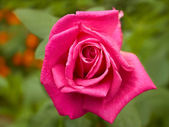 Bright pink rose closeup in flowerbed — Stock Photo