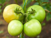 Four green tomatoes in greenhouse — Stock Photo