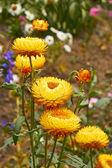 Helichrysum (Everlasting ) flowers on flowerbed — Stock Photo