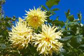 Tre gula dahlior i blomsterrabatt — Stockfoto