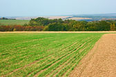 Edge of sown wheat fields near the forest — Stock Photo