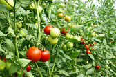 Red tomatoes ripening in greenhouse — Stock Photo