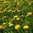 Yellow dandelions on meadow — Stock Photo
