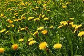 Yellow dandelions on meadow — Stock Photo