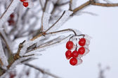 Red Guelder Rose berries covered with hoarfrost — Stock Photo