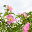 Stock Photo: Pink flowers of wild roses