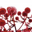 Toned in reddish thistle flowers over white — Stock Photo