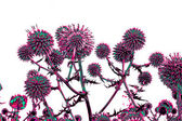 Toned spherical thistle flowers over white — Stock Photo