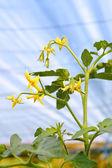 Flowering tomato plant in greenhouses — Stock Photo