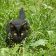 Black cat in ambush outdoors — Stock Photo