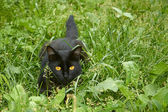 Black cat in ambush outdoors — Stock Photo