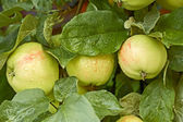 Apples with water drops on the tree — Stock Photo
