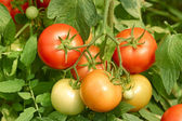 Tomatoes bunch close up — Stock Photo