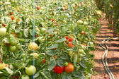 Ripening tomatoes in greenhouse — Foto Stock