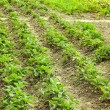 Rows of green strawberry plants — Foto Stock #29867679