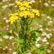 Tansy plant flowering — Stock Photo