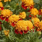 Marigold flowers in flowerbed — Stock Photo