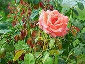 Rose with water drops in flowerbed — Stock Photo