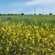 Stock Photo: Wheat field and flowering rape plants