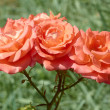 Three coral roses — Stock Photo